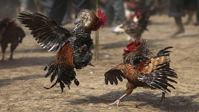 Agen Sabung Ayam Terkenal
