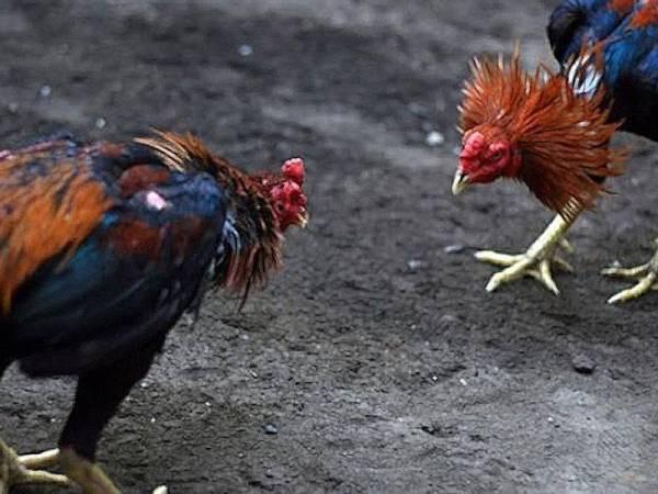Agen Sabung Ayam Terbesar